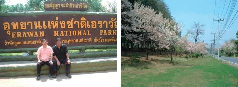 国立公園入り口でチャイリットさんと(左) タイの桜…遠目にはまったく日本の桜です(右)