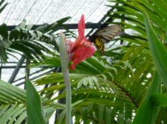 ランの花にとまる蝶々(タイミングよく撮れました)